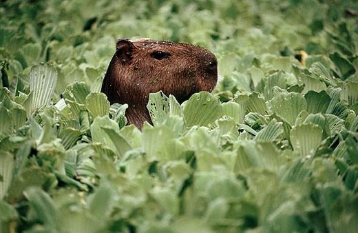 Stock Photo: 1566-286498 Capybara (Hydrochaeris hydrochaeris). Amazonia. Peru