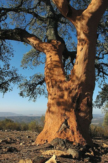 Cork oak with bark removed (see the orange colour on trunk). Sierra Morena, Jaén, Andalusia, Spain : Stock Photo