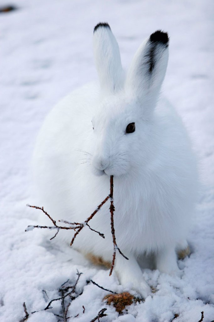Stock Photo: 1566-288637 Adult Arctic Hare (Lepus arcticus) chewing on willow branch near Churchill, Manitoba, Canada.