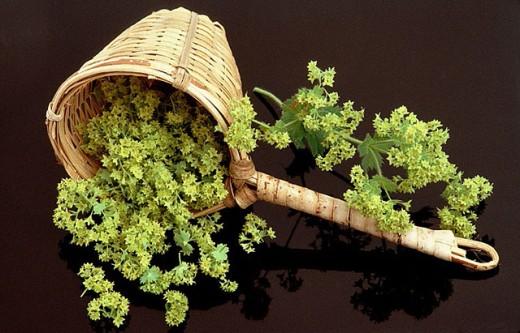 Alchemilla vulgaris, Ladys mantle : Stock Photo