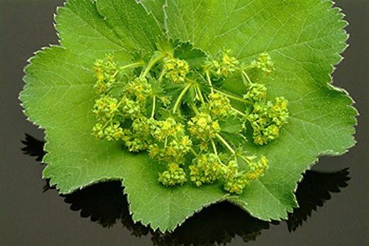 Alchemilla vulgaris, Lady´s mantle : Stock Photo