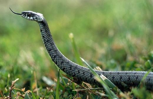 Grass snake (Natrix natrix). Badajoz province. Spain. : Stock Photo