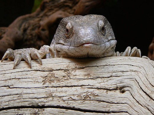 Savannah Monitor (Varanus exanthemanticus) : Stock Photo
