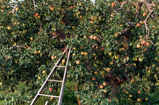 Stock Photo: 1566-292647 Duchess of Oldenburg apple tree, organic apples on tree at Lost Nation Orchard. New Hampshire, USA