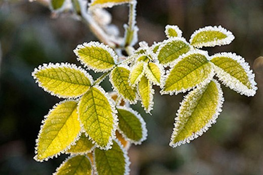 Frosted wild rose leaves : Stock Photo
