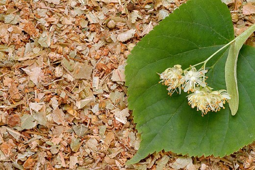 Stock Photo: 1566-293019 Lindentree, medicinal plant, medicinal use, Tilia cordata