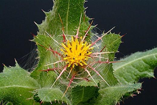 Stock Photo: 1566-293141 Blessed thistle, medicinal plant, herb, Cnicus benedictus, carduus, Calcitrapa lanuginosa