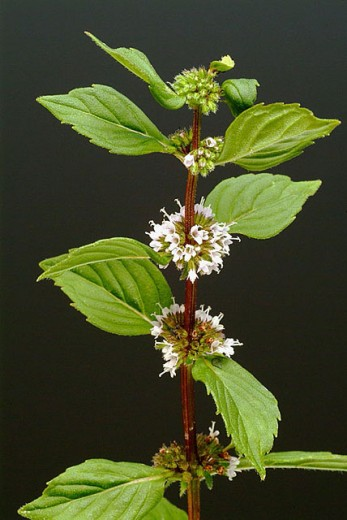 Peppermint, herb, spice, medicinal plant, Mentha piperita : Stock Photo