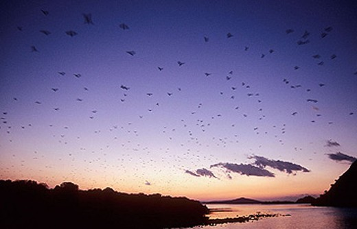 Flock of red flying foxes taking off at sunset (Pteropus scapulatus), Komodo Island, Indonesia : Stock Photo