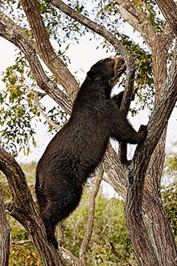 Spectacled Bear (Tremarctos ornatus). Venezuela. : Stock Photo