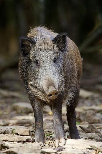 Wild boar (Sus scrofa) : Stock Photo