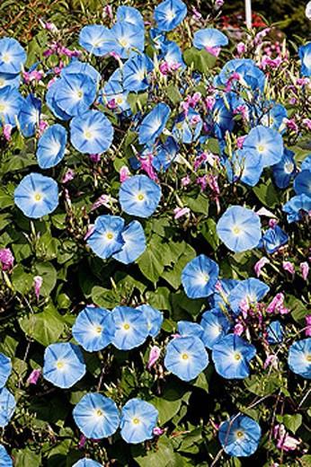 Stock Photo: 1566-297588 Morning Glory (Ipomoea grandiflora)