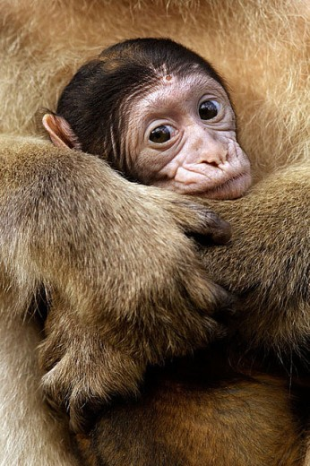 Stock Photo: 1566-298598 Barbary Macaque with Baby. Macaca sylvana. Gibraltar. UK.