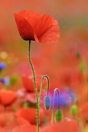 Common Poppy. Papaver rhoeas. Schleswig-Holstein, Germany : Stock Photo