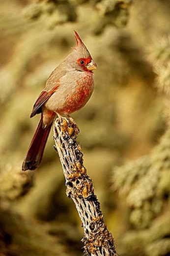 Stock Photo: 1566-301889 Pyrrhuloxia (Cardinalis sinuatus) - Arizona - Male - Rose-colored breast and crest suggest a Cardinal but the gray back and yellow bill set it apart - Range is southwest U.S. to central Mexico - Habitat is mesquite-thorn scrub and deserts
