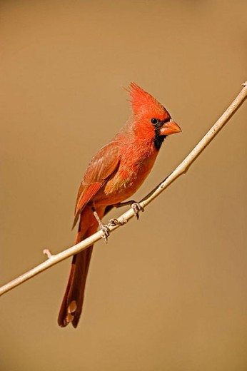 Northern Cardinal (Cardinalis cardinalis) : Stock Photo