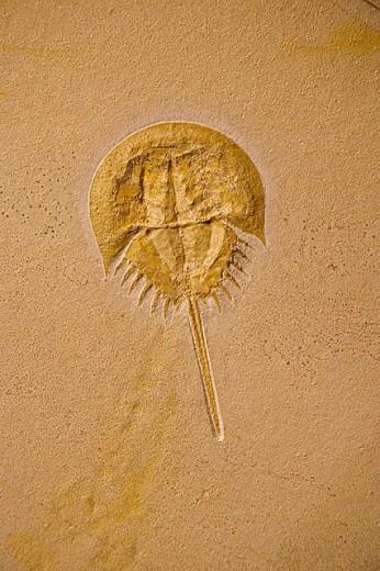 Stock Photo: 1566-303547 Fossil horseshoe crab - (Limulus) - Germany - Jurassic