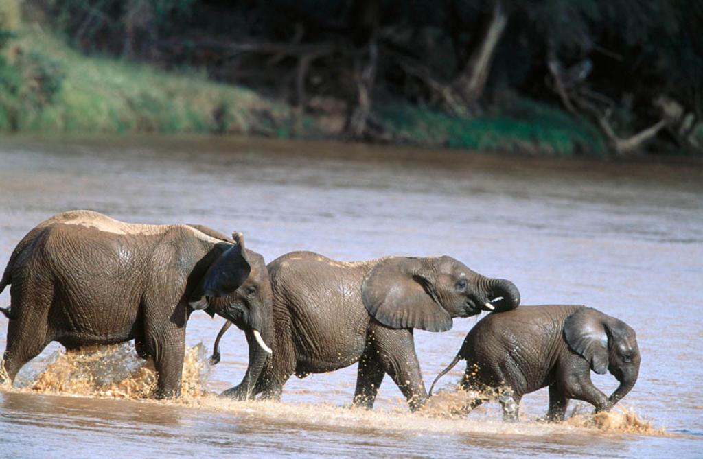 African Elephant (Loxodonta africana). Samburu National Reserve, Kenya : Stock Photo