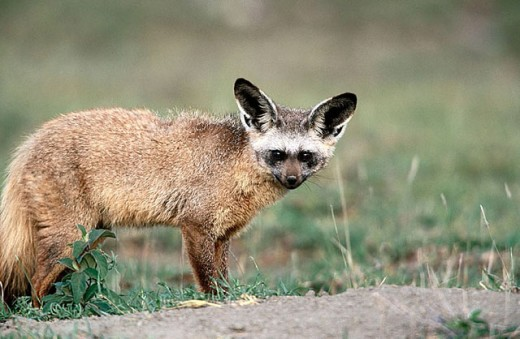 Bat-Eared Fox (Otocyon megalotis). Serengeti National Park, Tanzania : Stock Photo