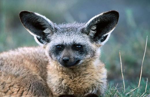 Stock Photo: 1566-303702 Bat-Eared Fox (Otocyon megalotis). Serengeti National Park, Tanzania