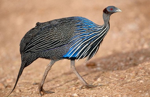 Stock Photo: 1566-304145 Vulturine Guineafowl (Acryllium vulturinum). Samburu National Reserve, Kenya