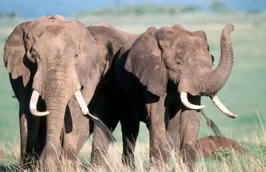 African Elephant (Loxodonta africana). Chobe National Park, Botswana : Stock Photo
