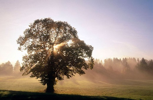 Sunrays shining throught oak tree. Allgau, Bavaria, Germany : Stock Photo