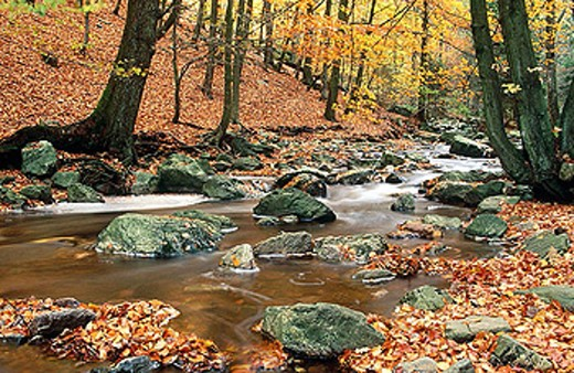 Beech forest and brook, Wallonian fens. Ardennes, Belgium : Stock Photo