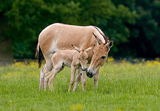 Stock Photo: 1566-311219 Onager & Foal (Equus hemionus).