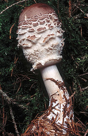 Stock Photo: 1566-311634 Shaggy Parasol (Macrolepiota rhacodes). Schleswig-Holstein, Germany