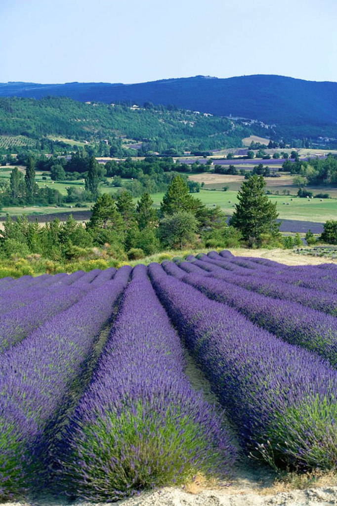 Blooming lavender field. Provence. France. : Stock Photo