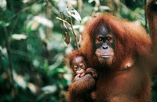 Orangutan (Pongo pygmaeus) with young. Gunung Leuser National Park. Sumatra. Indonesia : Stock Photo