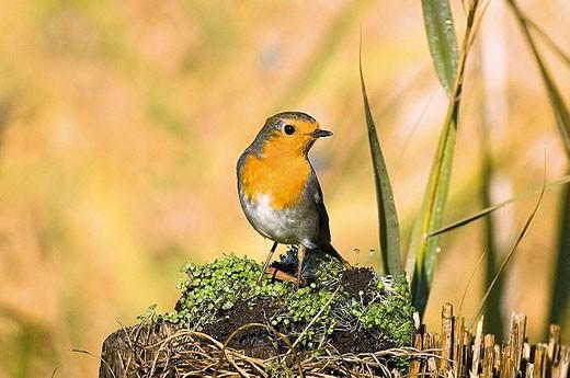 Stock Photo: 1566-319214 European Robin (Erithacus rubecula). Tablas de Daimiel National Park, Ciudad Real province, Castilla-La Mancha, Spain