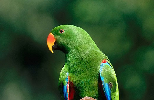 Eclectus parrot or red-sided parrot (Eclectus roratus). Queensland. Australia : Stock Photo
