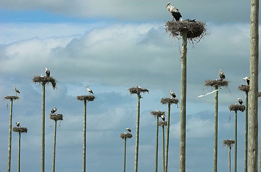 Stock Photo: 1566-321149 White Stork (Ciconia ciconia) nesting on wooden poles. Cáceres province, Extremadura, Spain