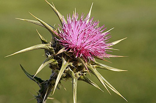 Thistle. La Rioja, Spain : Stock Photo