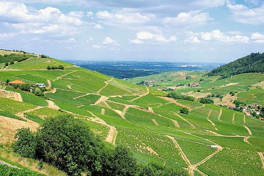 Stock Photo: 1566-321749 Vineyards ´Vaux-en-Beaujolais´. Beaujolais wine country. Rhone Valley. France.