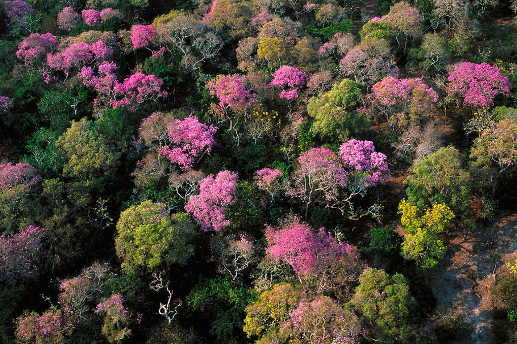 Stock Photo: 1566-321840 Amazon rainforest flowering. Moxos plains. Amazonia. Bolivia