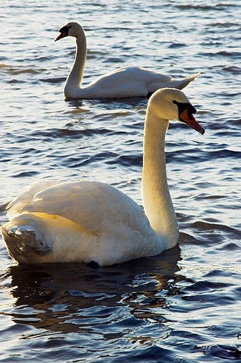 Adult Mute Swans (Cygnus olor) at Roberts Bay. Sidney, British Columbia, 10 February 2006. Canada. : Stock Photo