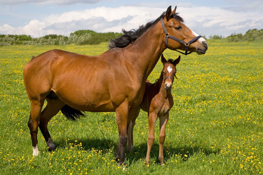 Stock Photo: 1566-322740 Chestnut Brood Mare foal in Meadow