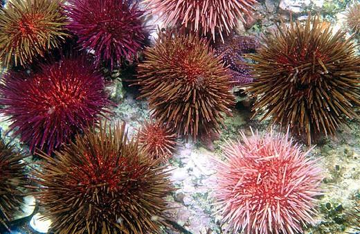 Stock Photo: 1566-323278 Sea Urchin (Paracentrotus lividus). Galicia, Spain