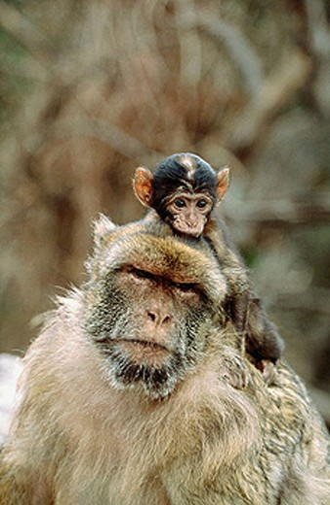 Barbary Macaque (Macaca sylvanus). Gibraltar, UK : Stock Photo