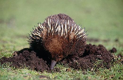 Stock Photo: 1566-323378 Short-beaked Echidna (Tachyglossus aculeatus). Australia