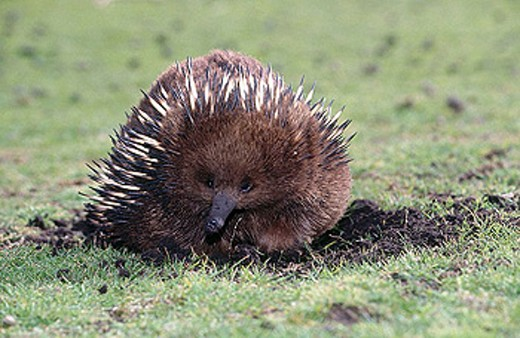 Stock Photo: 1566-323379 Short-beaked Echidna (Tachyglossus aculeatus). Australia
