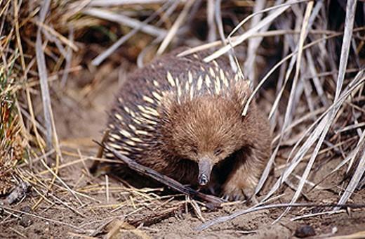 Short-beaked Echidna (Tachyglossus aculeatus). Australia : Stock Photo