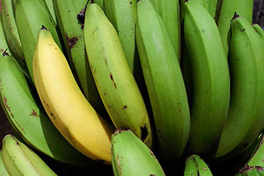 Yellow banana in between greens in West Java, Indonesia, South East Asia : Stock Photo