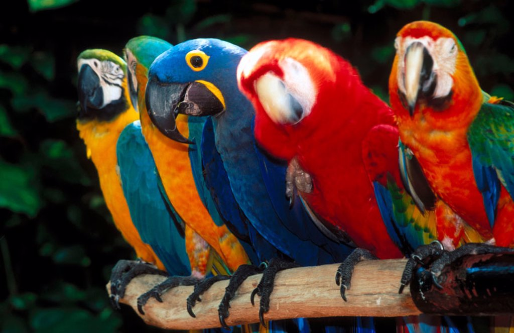 Coloured macaws. City of Miami. Florida. USA. : Stock Photo