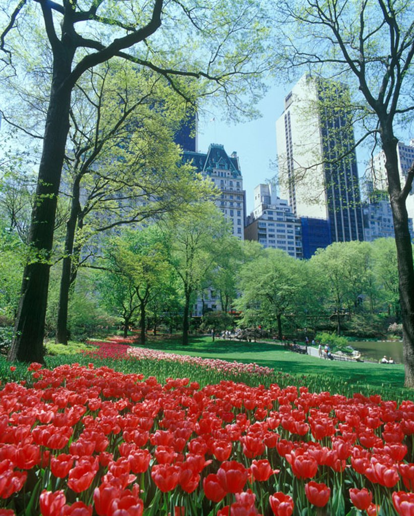 Tulips, Pond, Central Park, Mid-town, Manhattan, New York, USA : Stock Photo