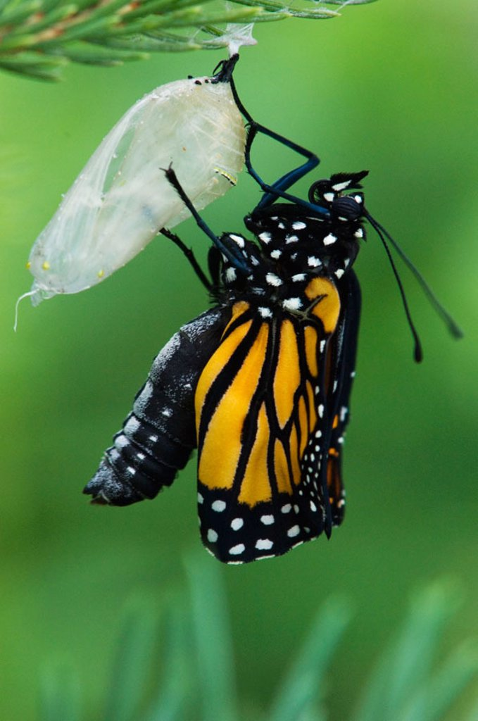 Monarch butterfly, Danaus plexippus Freshly emerged adult inflating wings : Stock Photo