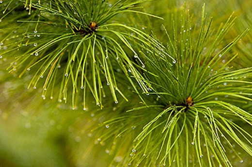 Stock Photo: 1566-330302 Red pine, Pinus resinosa. raindrops on needles